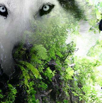 Loup chamane